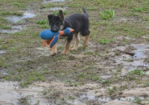 Maximus after lots of rain and he jumped and played all in the puddles. Maximus loves playing fetch with his duck. He will go get it and bring it back every time and its so funny because I will be waiting for him to bring it back and when he's done playing he will take his duck and go put it in his cage. Like ok I'm done I'm putting my toy up!