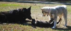 Center of attention. Maximus playing with my 6 year old black german shepherd and my sisters Siberian husky.