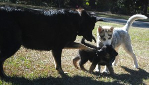 He's the center of attention. My female shepherd tries to baby and mother him. It's soo cute!